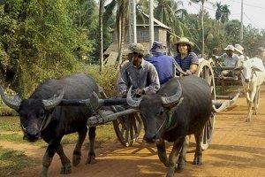 OX cart riding Siem Reap, Cambodia