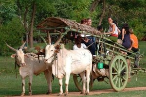 OX cart riding Siem Reap Cambodia